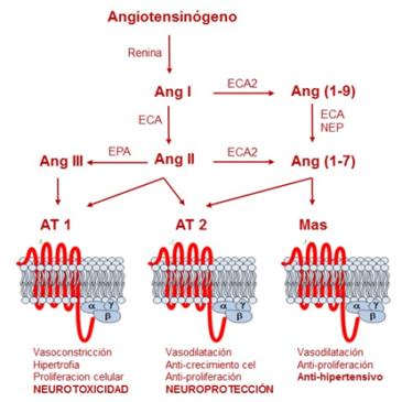 Angiotensinas y cognición